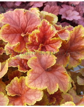 Heuchera Happy Flames  couleur printemps