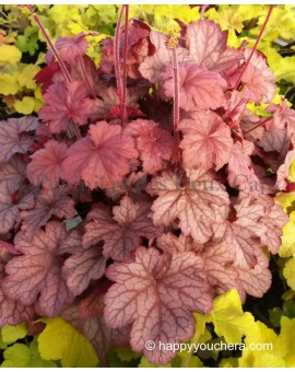 Heuchera 'Happy Peachy'