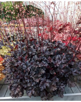 Heuchera 'Crazy Rasta'