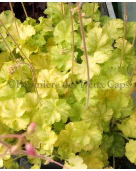 Heuchera Flower Fountain