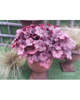 Heuchera Celtic Sea