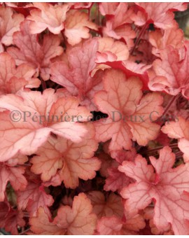 Heuchera 'Celtic Sea'