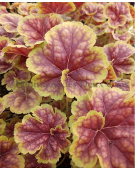 Heuchera 'Happy Easter'