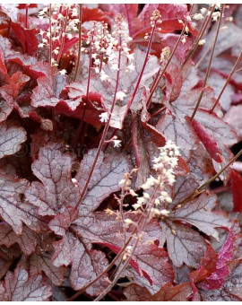 x Heucherella 'Gunsmoke'