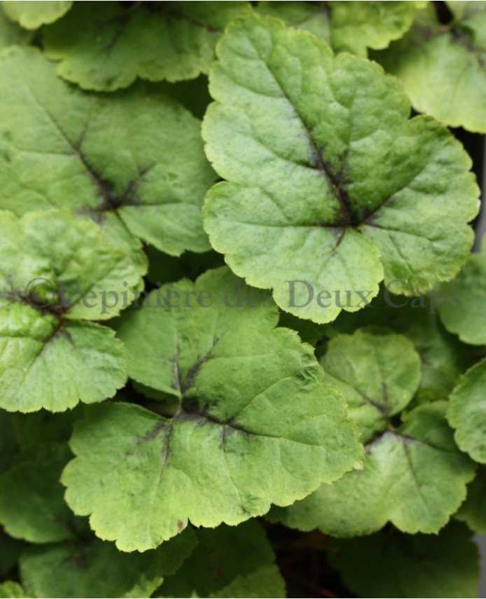 Tiarella cordifolia Brandywine