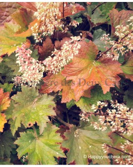 Heuchera 'Copper Dinosaur'