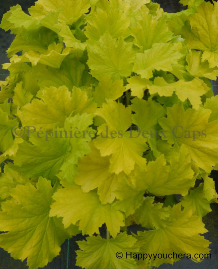 Heuchera Lemon Dinosaur