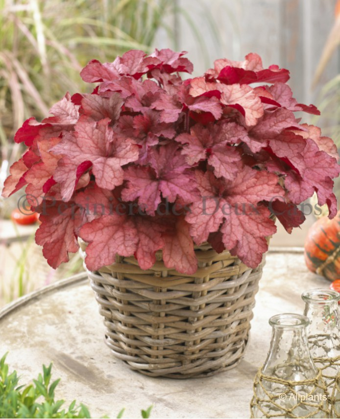 Heuchera Coralberry