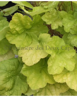 Heuchera World Caffe Romano