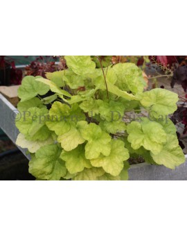 Heuchera 'World Caffé ® Romano'