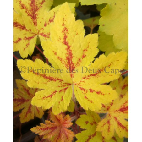 Heucherella Sunrise Falls