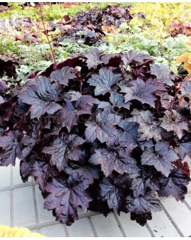 Heuchera Blackout adulte