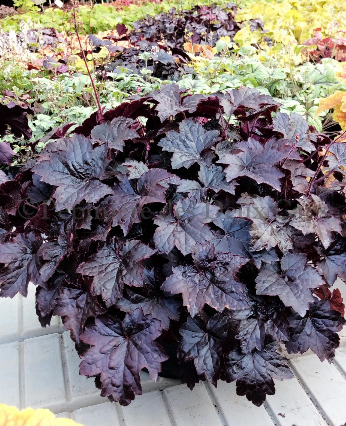 Heuchera Blackout adult plant