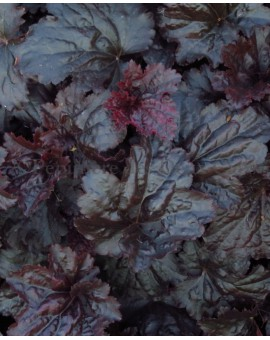 Heuchera 'Black Sea'