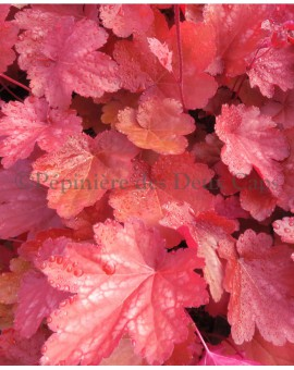 Heuchera 'Coral Sea'