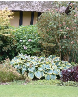 Hosta 'Frances Williams' in the garden of 'Le Jardin de Coudray'
