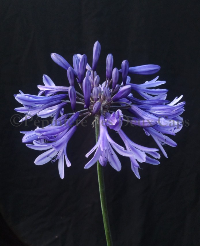Agapanthus African Queen