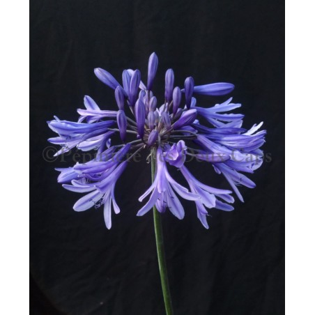 Agapanthus 'African Queen'