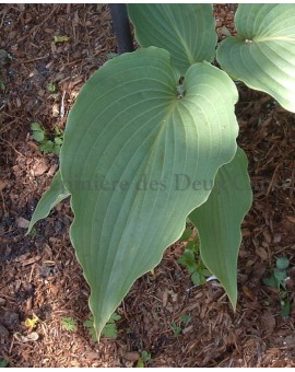 Hosta Cutting Edge