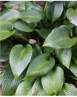Hosta 'Devon Green'