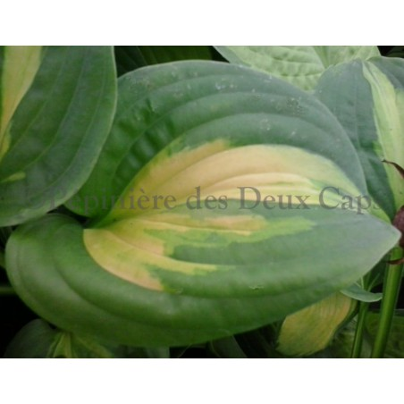 Hosta Emerald Charger