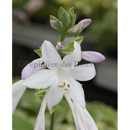 Hosta Fragrant Dream