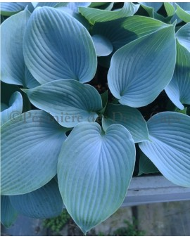 Hosta Hadspen Blue