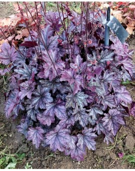 Heuchera 'Happy Purple'