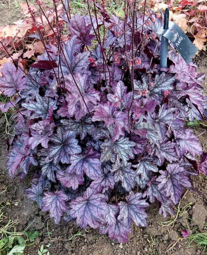 Heuchera Happy Purple