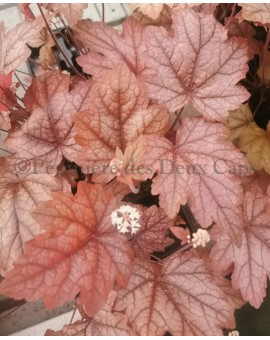 x Heucherella 'Art and Craft'