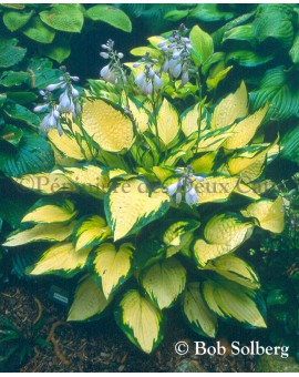 Hosta Orange Marmalade , mercie Bob Solberg pour la photo
