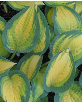 Hosta 'Orange Marmalade' clos-up blad
