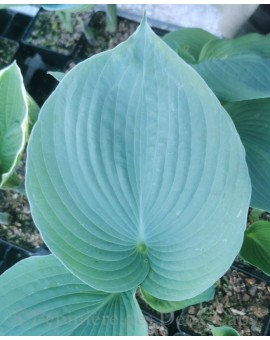 Hosta 'Punk Rock'