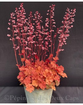 Heuchera 'Candy Honey'