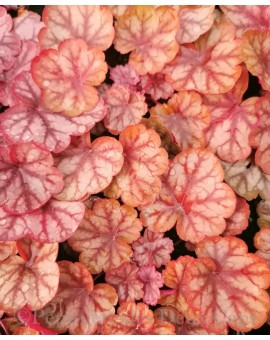 Heuchera 'Princess Joana'
