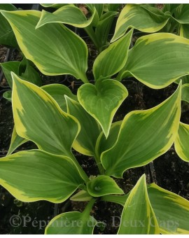 Hosta 'Heather Hill'