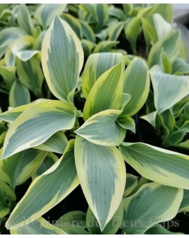 Hosta Angelique