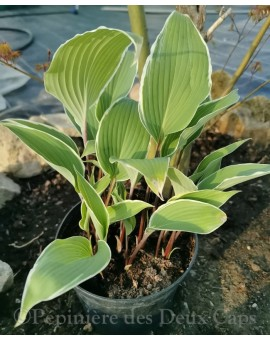 Hosta 'Valley's Sushi'