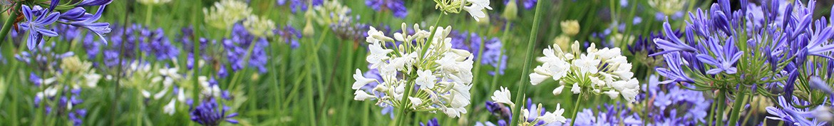 Pepiniere des Deux Caps, a large selection of Agapanthus.