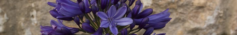 Agapanthus met donkerblauwe tot zwarte bloemen-Pepiniere des Deux Caps