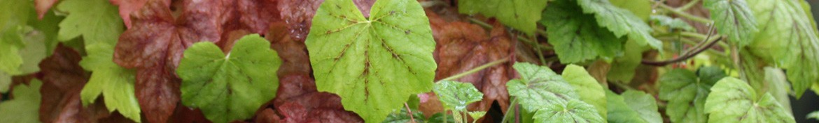 Don't say Heuchera without Heucherella - Pepiniere des Deux Caps