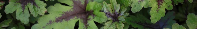 Een kwekerij gespecialiseerd in Tiarella - Pepiniere des Deux Caps