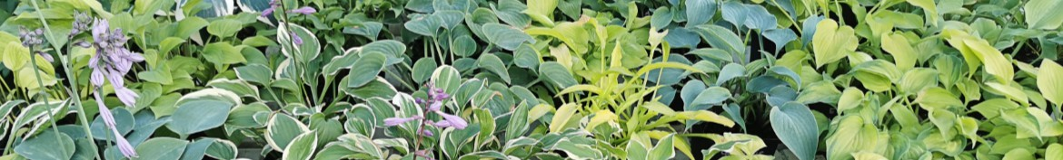 Hosta small size, XS and S - Pepiniere des Deux Caps