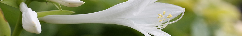 Hostas aux fleurs parfumées - Pepiniere des Deux Caps