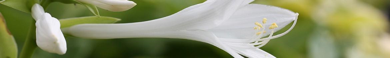 Hosta met geurende bloemen - Pepiniere des Deux Caps